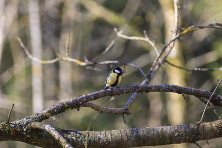 Great tit sitting on a branch in the forest photo