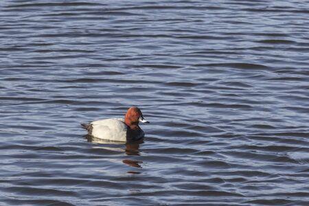 common pochard: Common Pochard swimming in the lake