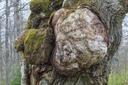 Burl of an old oak tree Imagens