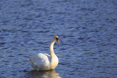 Mute swan in the lake Stock Photo - 17730811