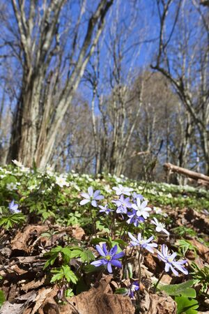 Anemone hepatica in spring forest photo