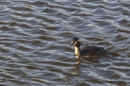 crested duck: Great Crested Grebe swimming in the lake Stock Photo