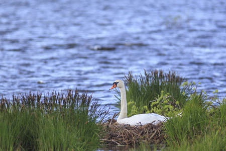 Mute Swan nests in the lake Stock Photo - 17873601