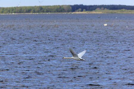 Cisne volando sobre el lago Foto de archivo - 17873689