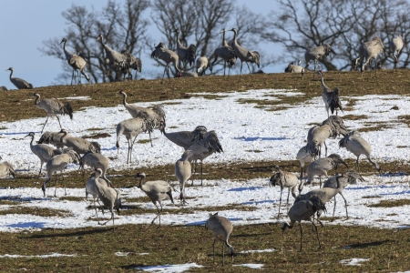 Common Cranes grazing on field with snow photo