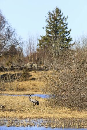 Common Crane at a small lake photo