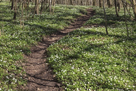 Wood anemone along the the path in the woods photo
