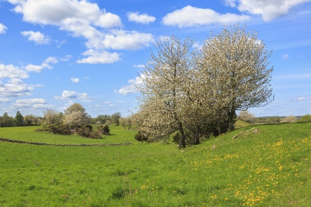 Flowering cherry trees at spring in rural landscape photo