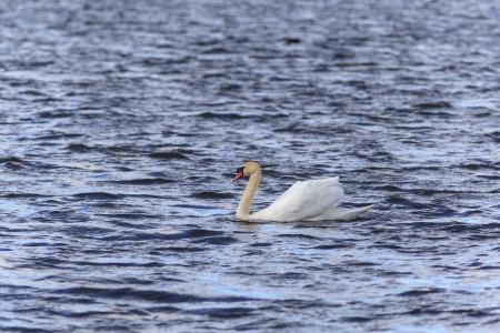 Mute Swan swimming in the lake Stock Photo - 18196253