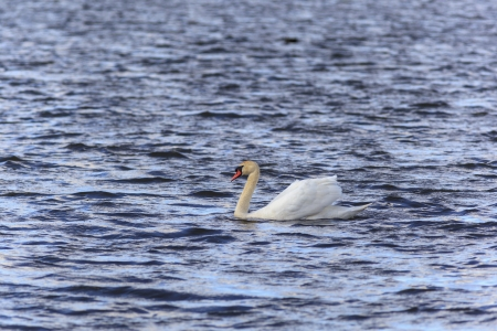 Mute Swan swimming in the lake Stock Photo - 18196253