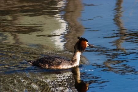 Horned grebe swimming in the lake Stock Photo - 18372090
