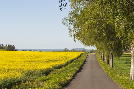 Field of flowering oilseed and a country road