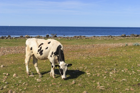 Cows grazing  on a beach meadow photo