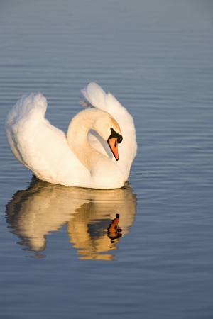 Mute swan on a lake Stock Photo - 18372072