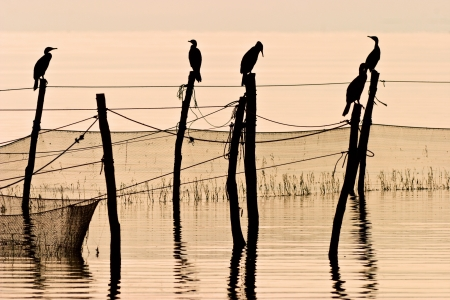 Great Cormorant resting after fishing photo