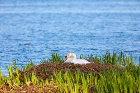 Mute swan on a nest Stock Photo - 18406908