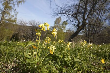 cowslip: Cowslips on a spring meadow