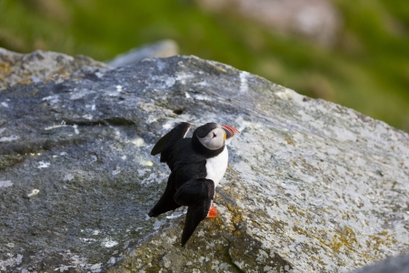 Atlantic Puffin on a cliff Stock Photo - 18406909