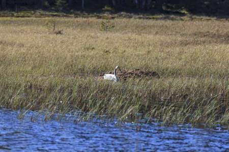 Whooper swan nesting in the lake photo
