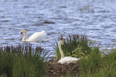 Mute Swan nests in the lake Stock Photo - 18596583