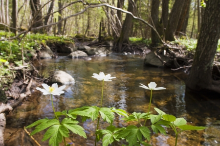 windflower: windflower at the creek. Stock Photo