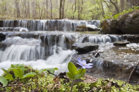 hepatica: Anemone hepatica with waterfall in the background