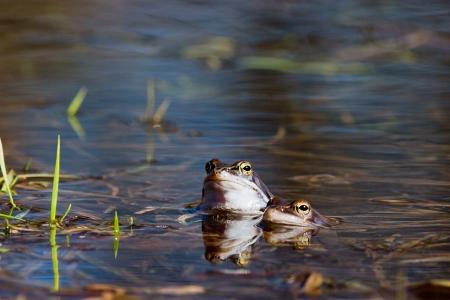 rana arvalis: Moor frog in spring Rana arvalis  Stock Photo