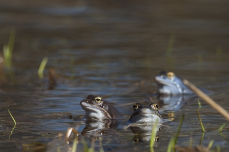 rana arvalis: Moor frogs in the mating season Stock Photo