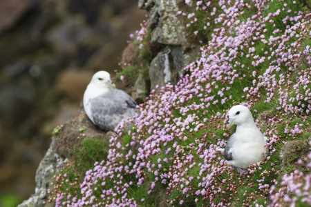 Northern Fulmar on a meadow with Thrift flowers photo