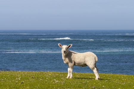 Lamb on the meadow with sea in background photo