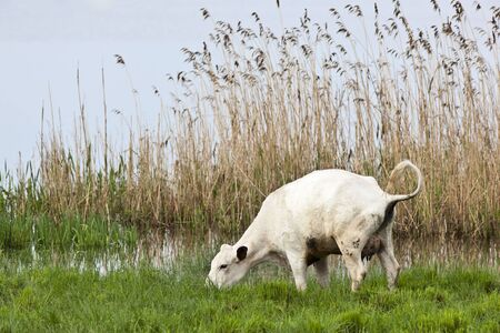 Cows graze on a meadow at the lake and peeing photo