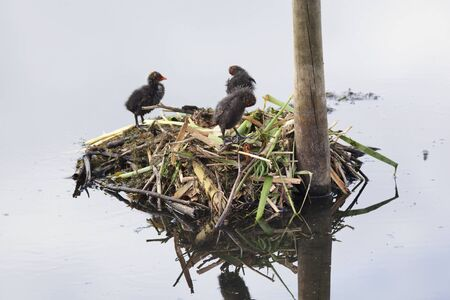 Eurasian Coot  chickens at a birds nest Stock Photo - 18810370
