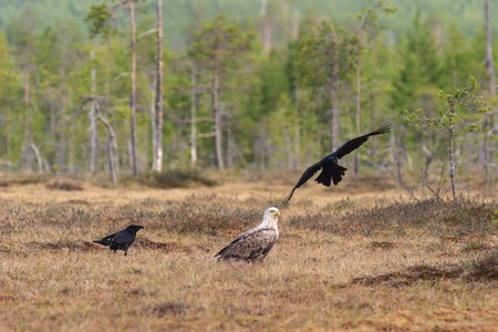 bog: White-tailed Eagle in the bog Stock Photo