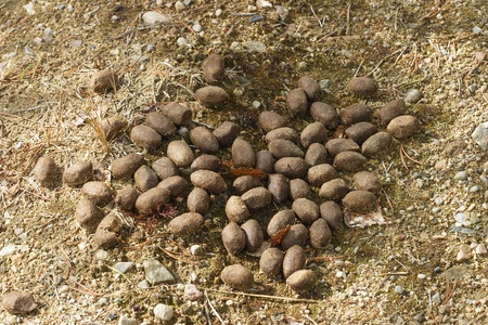 faeces: Moose droppings in the woods