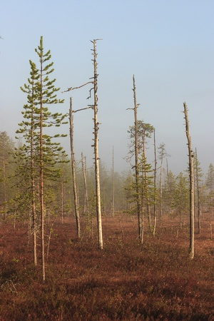 treetrunk: Early morning on the bog Stock Photo