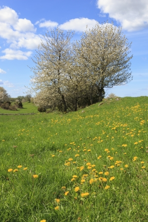Flowering cherry trees in spring photo
