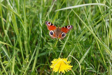 etymology: Peacock butterfly on a dandelion flower