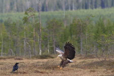 White-tailed Eagle with spread Wings photo