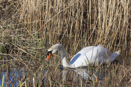 Mute swan in the reeds Stock Photo - 19102327
