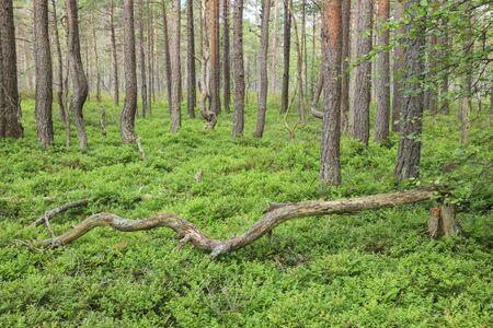fallen fruit: Pine tree forest on a bog