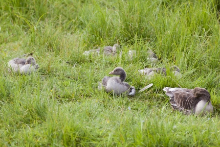 Greylag Goose with goslings on a grass field photo
