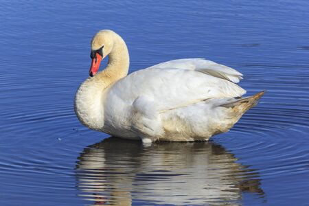 Mute swan in the water Stock Photo - 19139112