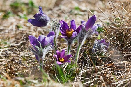 pasqueflower: Pasqueflower, (Pulsatilla vulgaris), which blooms in early spring