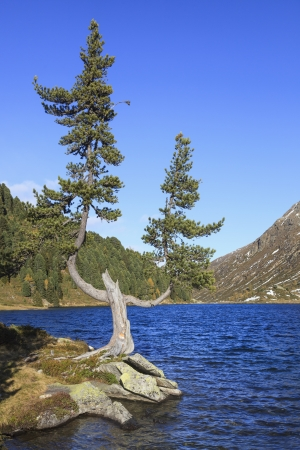 osttirol: Old pine tree at the edge of the lake