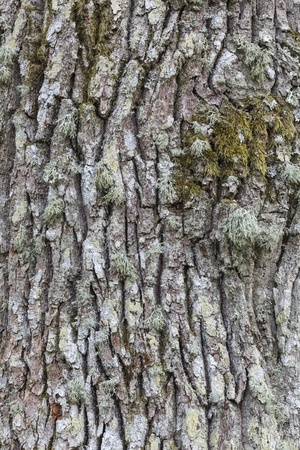 treetrunk: Close up of the bark of an oak tree