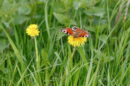 peacock butterfly: Peacock mariposa sobre una flor de diente de le?