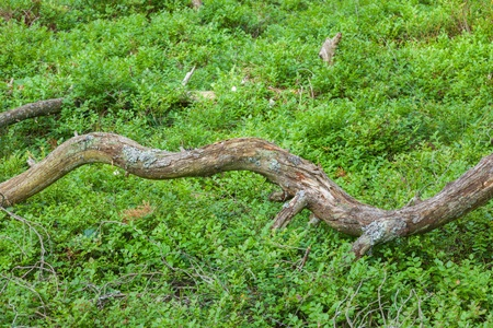 blueberry bushes: Tree branch lying in the blueberry bushes