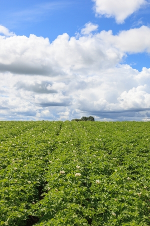 Flowering potato field in the summer photo
