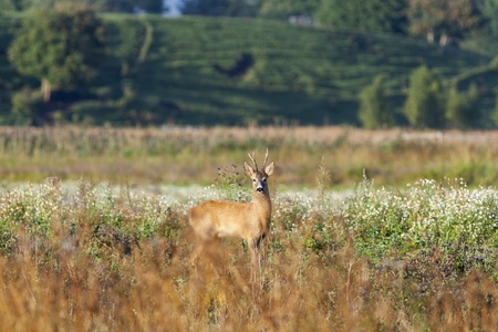 Roe deer buck in the meadow photo