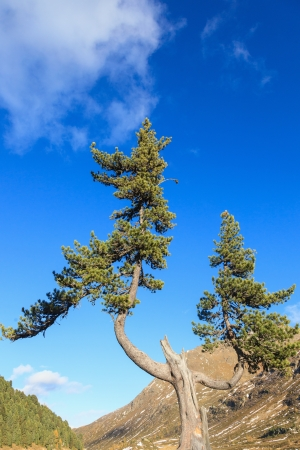 osttirol: Old pine tree in the mountain